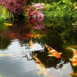 japanese koi farm , 8 Fabulous Japanese Koi Fish Price In pisces Category