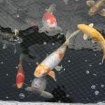 japanese koi fish , 6 Fabulous Koi Fish Price Range In pisces Category