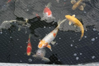 japanese koi fish in Birds