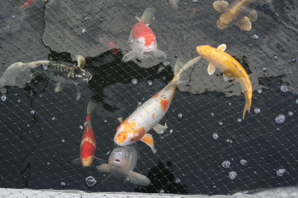 6 fabulous koi fish price range in pisces biological