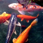japanese koi fish , 7 Awesome Koi Fish Los Angeles In pisces Category