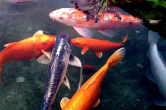 japanese koi fish in Butterfly