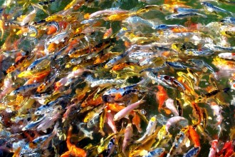 japanese koi fish in Environment