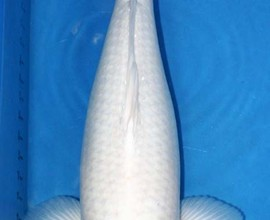 Japanese Koi Fish , 8 Good Live Japanese Koi Fish For Sale In pisces Category