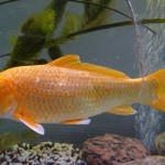 japanese koi fish , 8 Cool Breeding Koi Fish In pisces Category