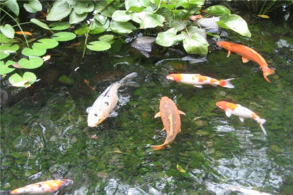 pisces , 6 Fabulous Koi Fish Pond Maintenance :  Japanese Koi Fish
