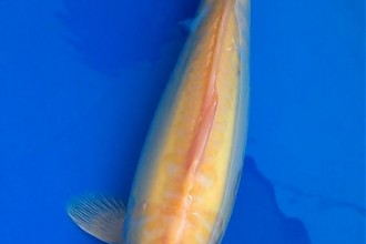 Japanese Koi For Sale , 8 Good Live Japanese Koi Fish For Sale In pisces Category