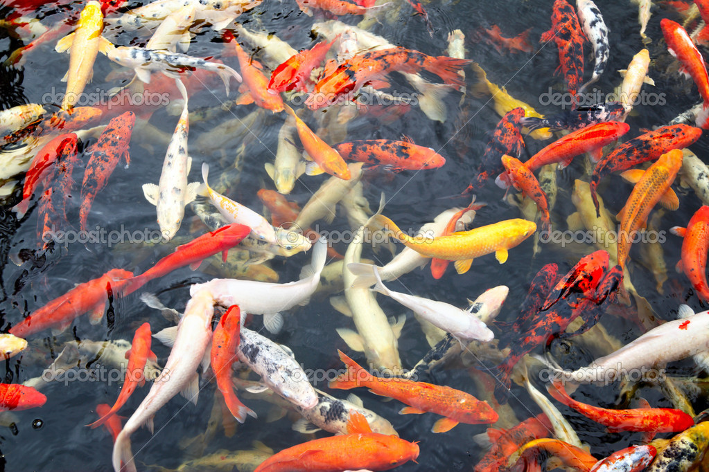 Japanese koi 8 wonderful koi fish tanks biological for Koi tank size