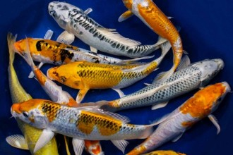 koi Fish Hatchery in Beetles