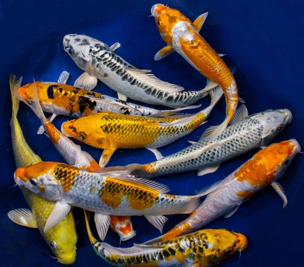 pisces , 8 Charming Koi Fish Hatchery : Koi Fish Hatchery