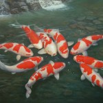 koi aquarium fish , 8 Wonderful Koi Fish Tanks In pisces Category
