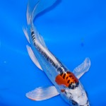koi breeder , 6 Beautiful Butterfly Koi Fish Care In pisces Category