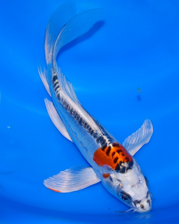 Koi breeder 6 beautiful butterfly koi fish care for Koi fish care