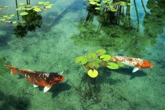 Koi fish 8 charming koi fish san diego biological for Raising koi fish