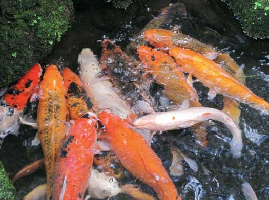 pisces , 7 Nice Koi Fish Breeding :  Koi Breeding
