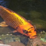 koi colors , 8 Good Biggest Koi Fish In pisces Category