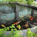koi farm , 8 Cool How To Care For Koi Fish Pond In pisces Category