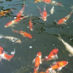 koi feeding , 8 Cool Breeding Koi Fish In pisces Category