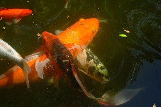 Koi Fish , 8 Good Biggest Koi Fish In pisces Category