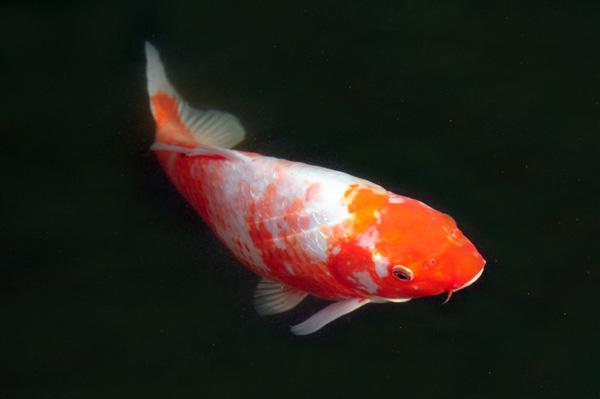 pisces , 6 Charming Koi Fish In Las Vegas :  Koi Fish Breeding