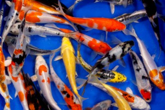 Koi Fish Breeding , 8 Charming Koi Fish Hatchery In pisces Category