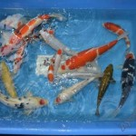 koi fish breeding , 7 Fabulous Huge Koi Fish For Sale In pisces Category