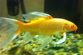 Koi Fish Breeding , 6 Lovely Koi Butterfly Fish In pisces Category