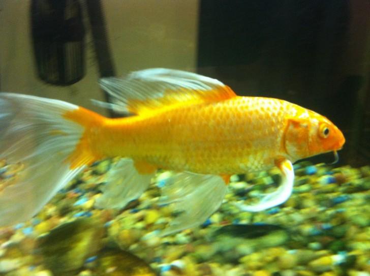 pisces , 6 Lovely Koi Butterfly Fish :  Koi Fish Breeding
