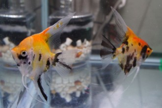 Koi Fish Breeding , 7 Cool Koi Fish For Sale In Miami In pisces Category