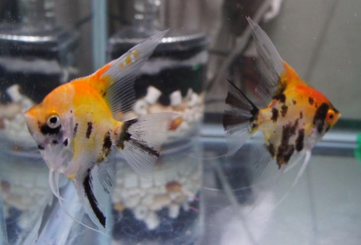 pisces , 7 Cool Koi Fish For Sale In Miami :  Koi Fish Breeding