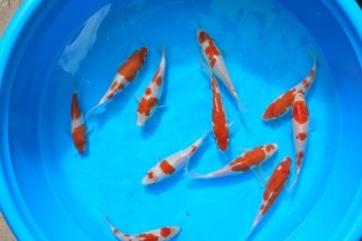 koi fish breeding in Plants