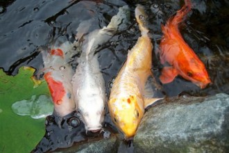 Koi Fish Care Guide , 9 Nice Caring For Koi Fish In pisces Category