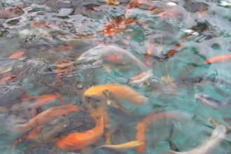 koi fish color meaning in Organ