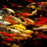 koi fish color meaning , 6 Nice Koi Fishes In pisces Category
