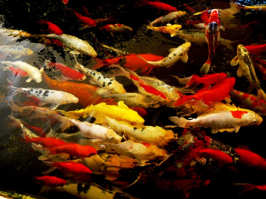 Koi fish color meaning 6 nice koi fishes biological for Koi fish net