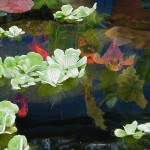 koi fish eat plants , 6 Charming Koi Fish Pond Care In pisces Category