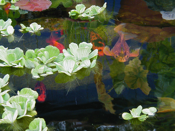 Koi fish eat plants 6 charming koi fish pond care for Koi pond plants