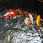 koi fish for sale , 6 Fabulous Koi Fish Ponds For Sale In pisces Category
