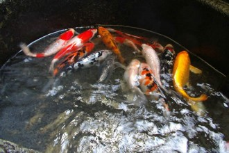 koi fish for sale in Muscles