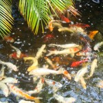 koi fish healthy , 6 Good Facts About Koi Fish In pisces Category