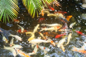 koi fish healthy in Plants