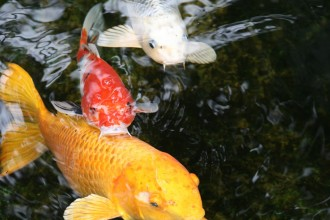 koi fish images in Plants