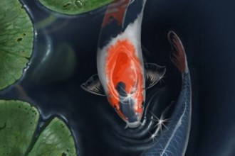 Koi Fish Images Of Japanese , 7 Lovely Koi Fish Life Span In pisces Category