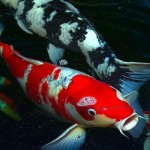 koi fish japan , 8 Nice Koi Fish Wholesale In pisces Category