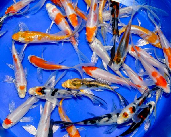 pisces , 8 Charming Koi Fish Hatchery :  Koi Fish Japan