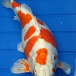 koi fish japan , 8 Charming Order Koi Fish Online In pisces Category