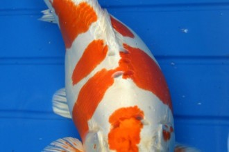 koi fish japan in Cell