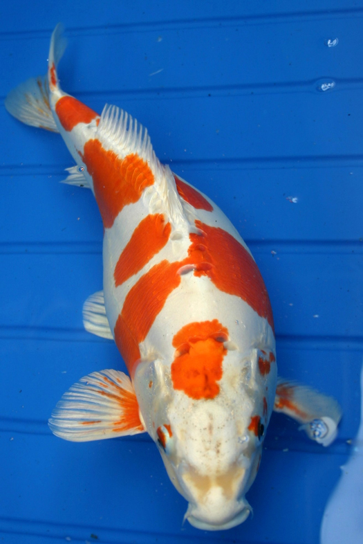 pisces , 8 Charming Order Koi Fish Online :  Koi Fish Japan