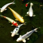 koi fish legend , 6 Charming Koi Fish In Las Vegas In pisces Category