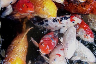 pisces , 5 Beautiful Koi Fish Prints :  koi fish painting